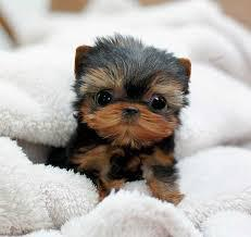 Sweet Teacup tiny size Yorkie puppies