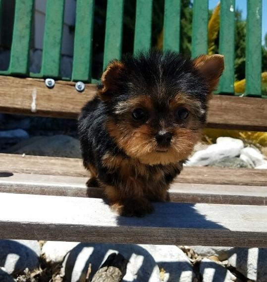 Nice Gorgeous Teacup Yorkie Puppies (763) 691-7702