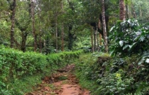 Wild coffee plantations at Kakkabe, Coorg