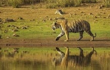 Catch a glimpse of the tiger at Tadoba, Maharashtra