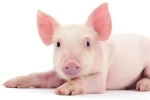 China Bans Pork Import From India Due To Swine Fever