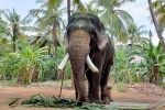 Suspects of Elephant death, Suspects of Elephant death, suspected man arrested for killing elephant in kerala, Wildlife