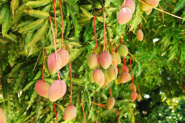 Seedless mangoes to tickle your taste buds},{Seedless mangoes to tickle your taste buds